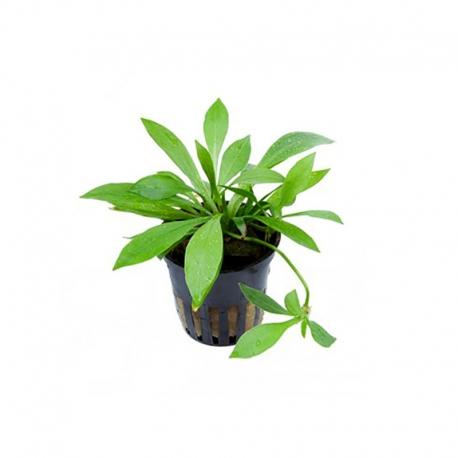 Helanthium Quadricostatus