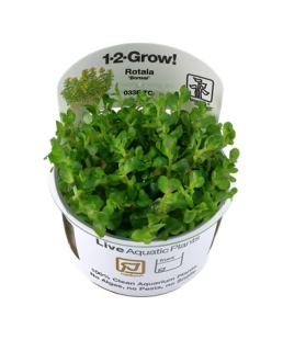 Rotala Bonsai 1-2Grow!
