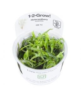 Heteranthera zosterifolia 1-2Grow!