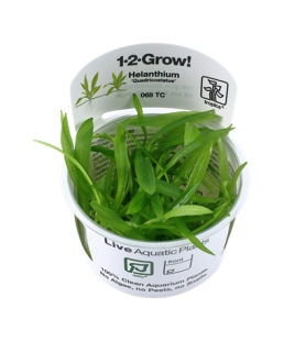 Helanthium Quadricostatus 1-2Grow!
