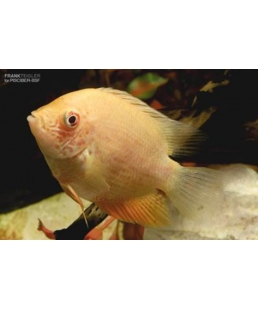 SEVERUM RED SPOT