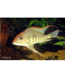 GEOPHAGUS TAPAJOS RED