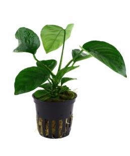 Anubias caladiifolia