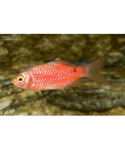 BARBO CONCHONIUS SUPER RED