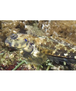 SYNCHIROPUS OCELLATUS
